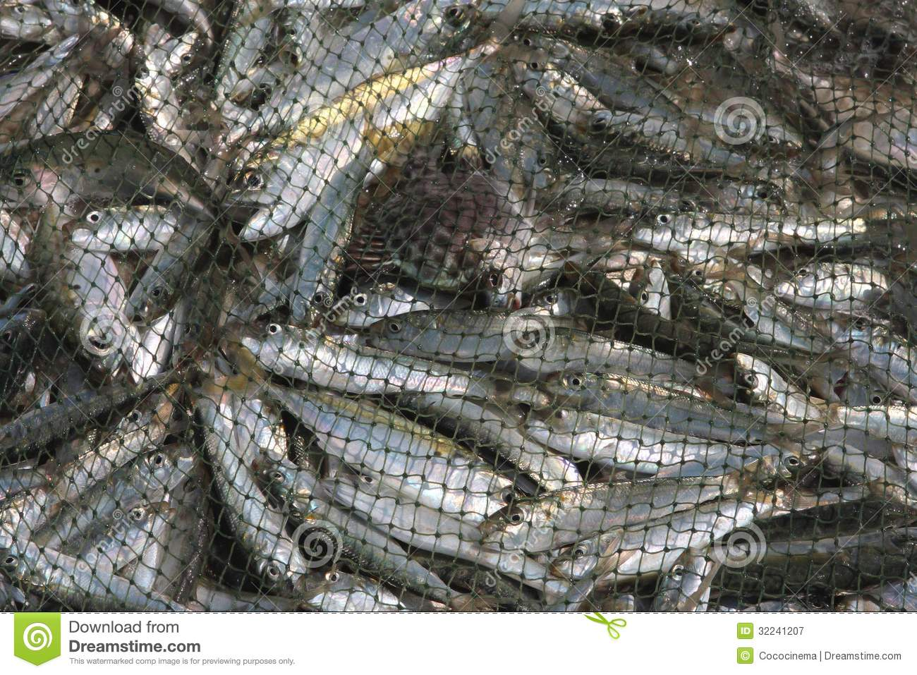 Fishing live fish caught in the net royalty free stock for Sjfc fish r net