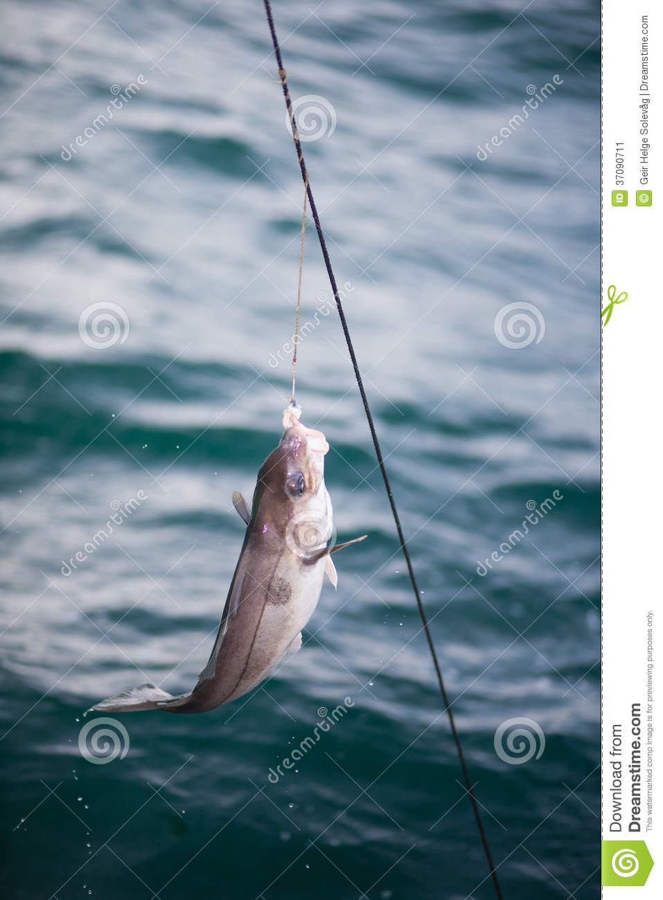 Fishing with longline stock image image of haddock for Long line fishing