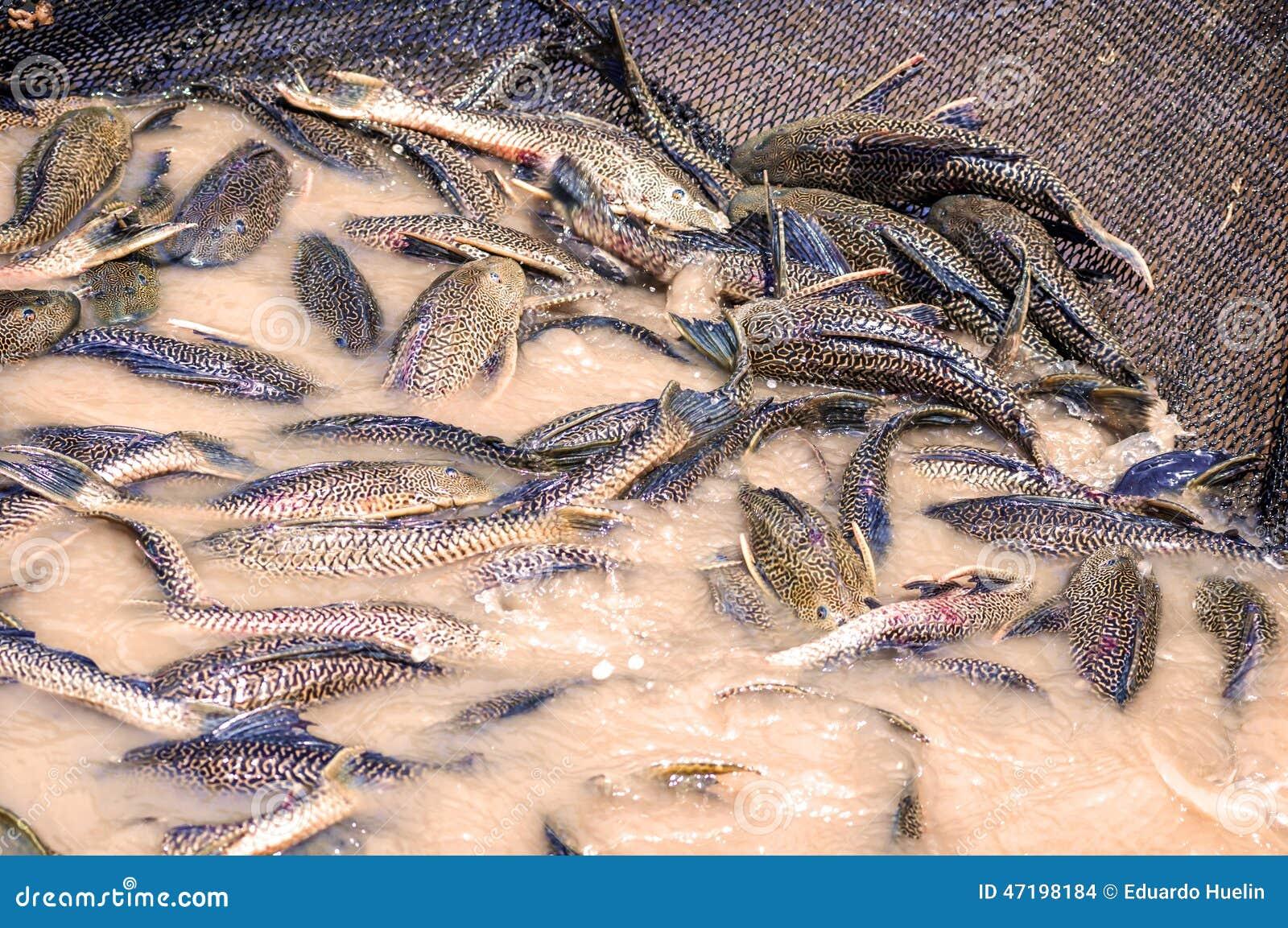 Fishing net full of amazonic fishes in the amazon rain for Amazon fishing net