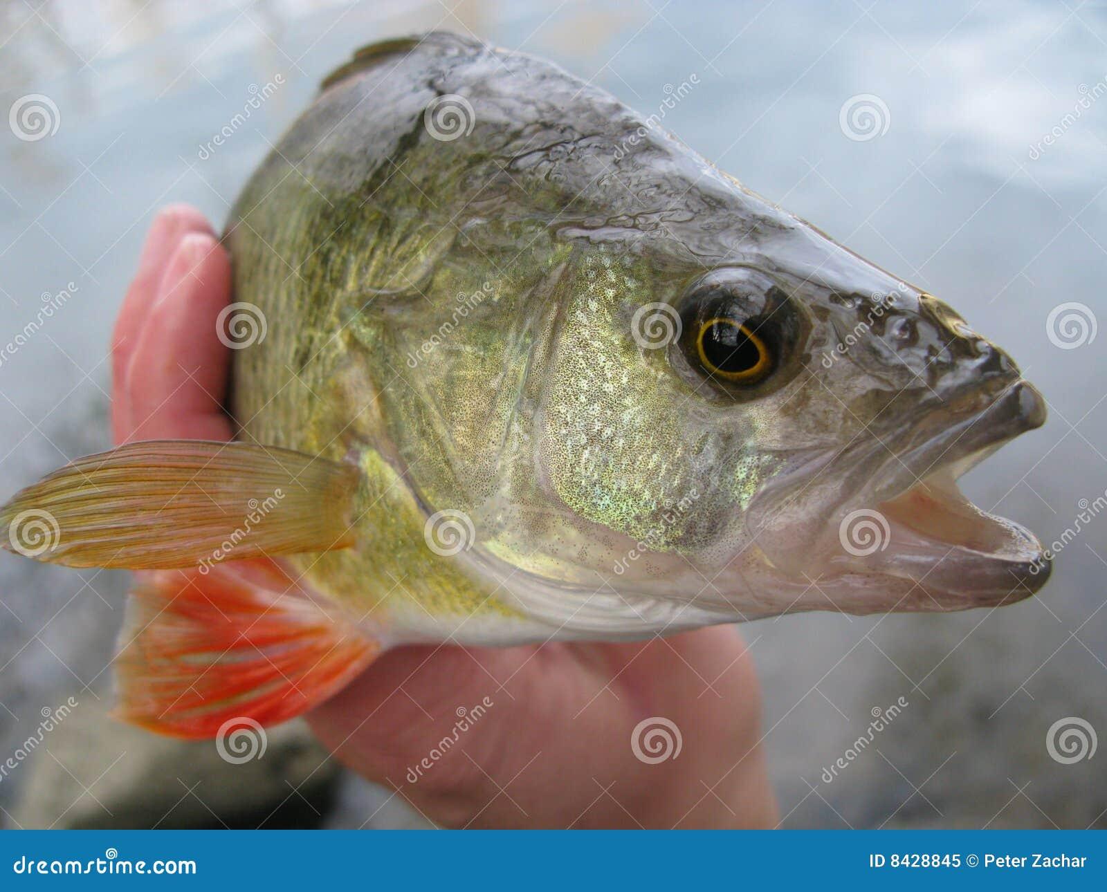 Fishing - perch
