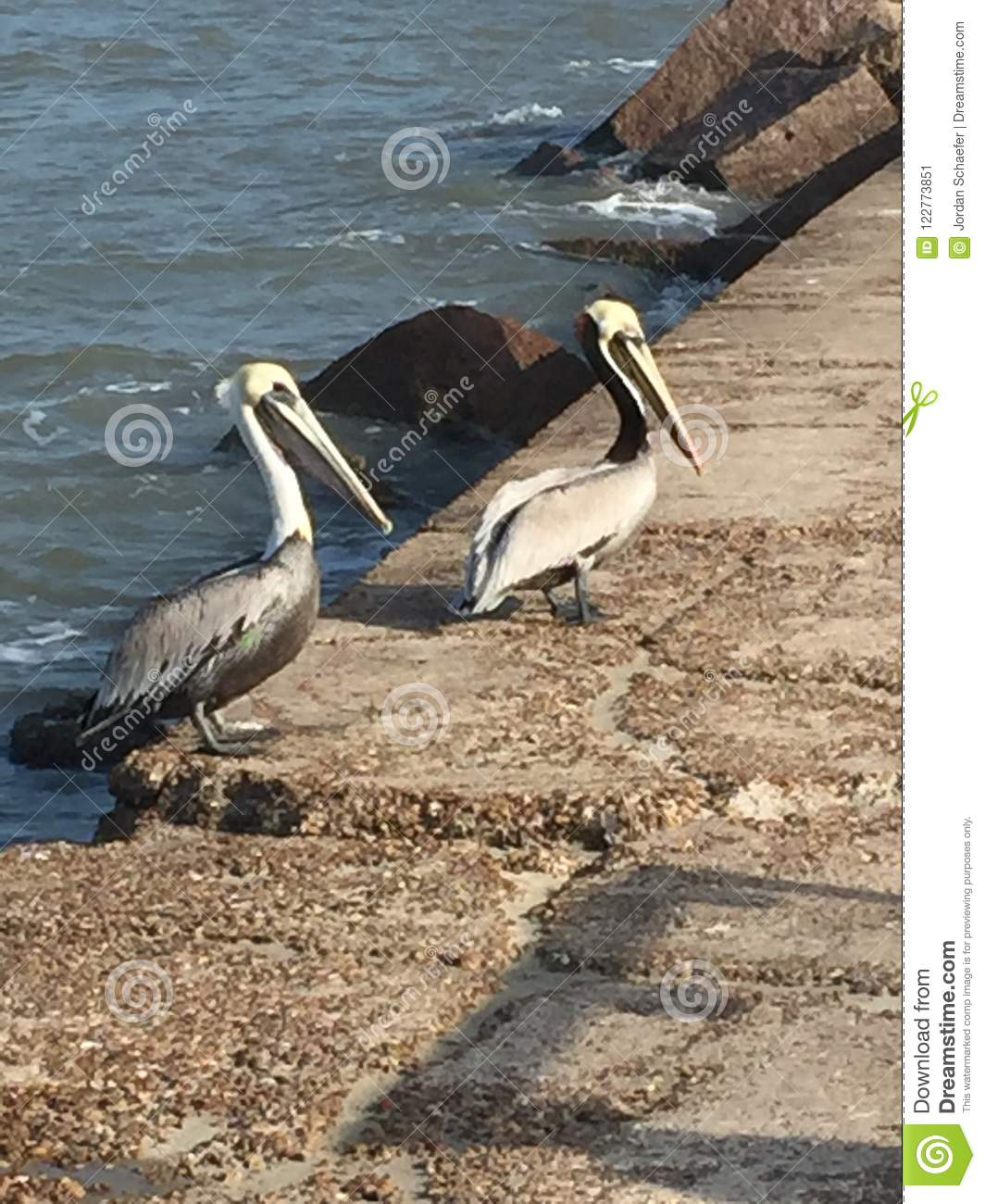 Mustang Island Beach: Two Pelicans On The Jetty Stock Image. Image Of Fishing
