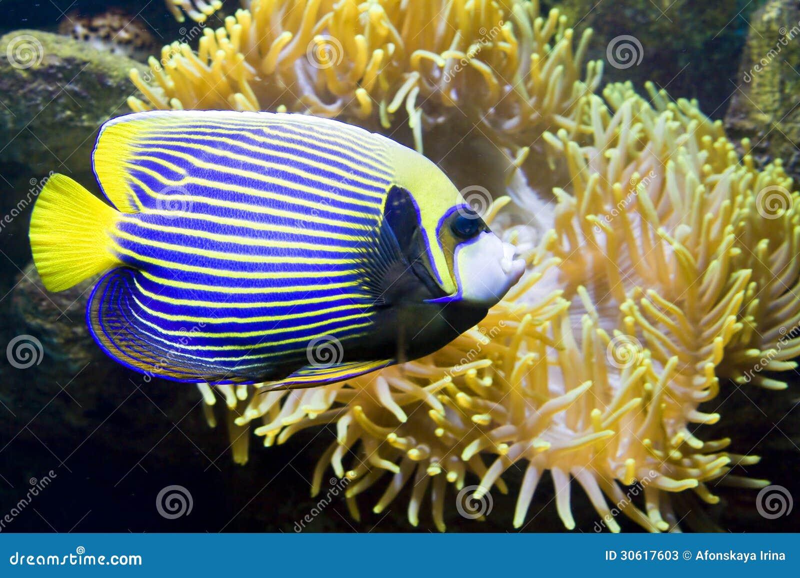 Fisk-ängel eller Fisk-kejsare och Actinia (havsanemonen)