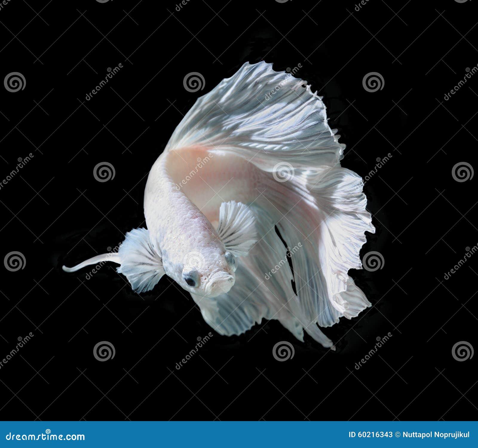 Fisk för stridighet för vit Platt platina Siamese Vit siamese fighti