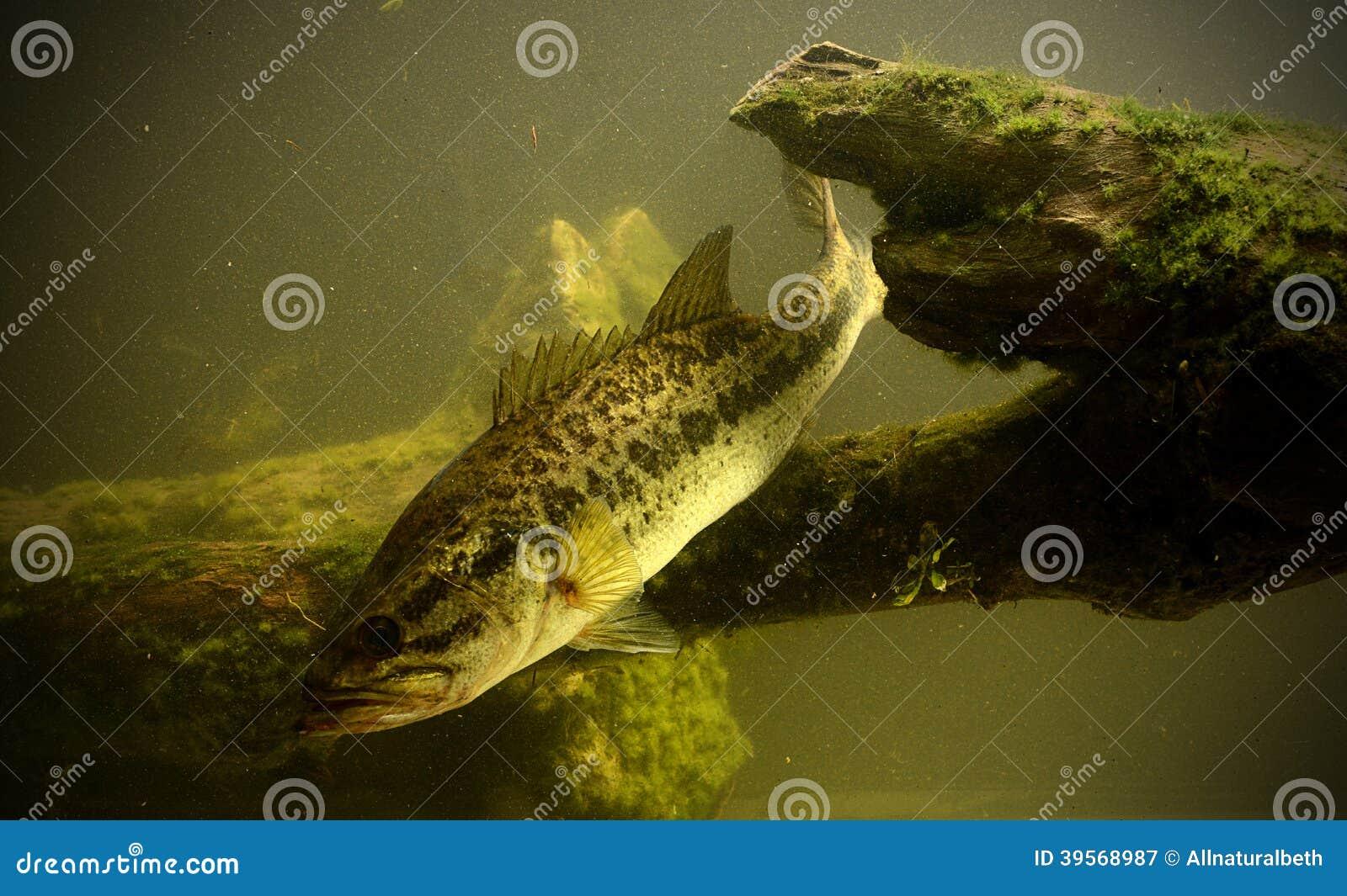 Fiska för fisk för largemouth bas