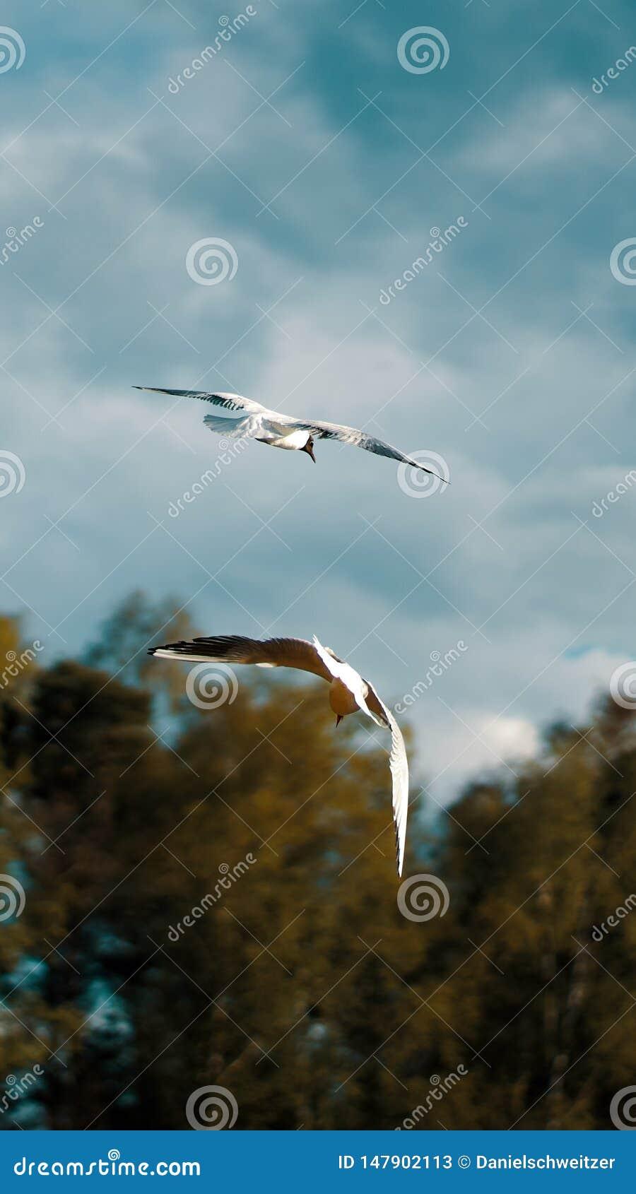 Fiskmåsar bakifrån som tillsammans flyger i en lugna miljö
