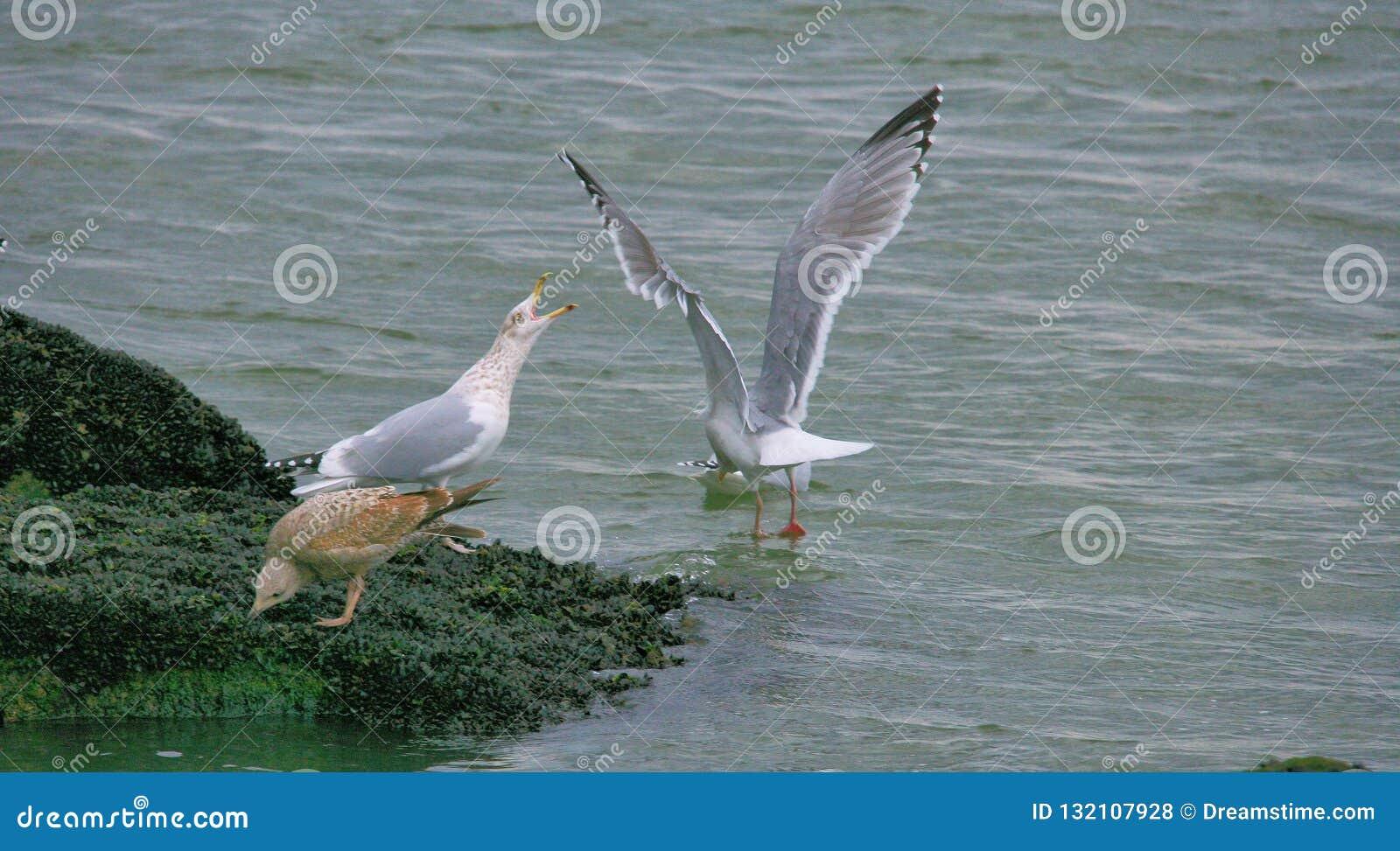 Fiskmåsar på det halt vaggar