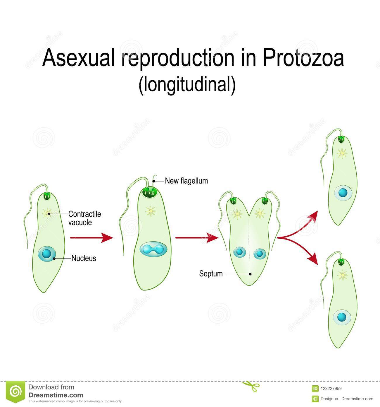 Fision asexual reproduction