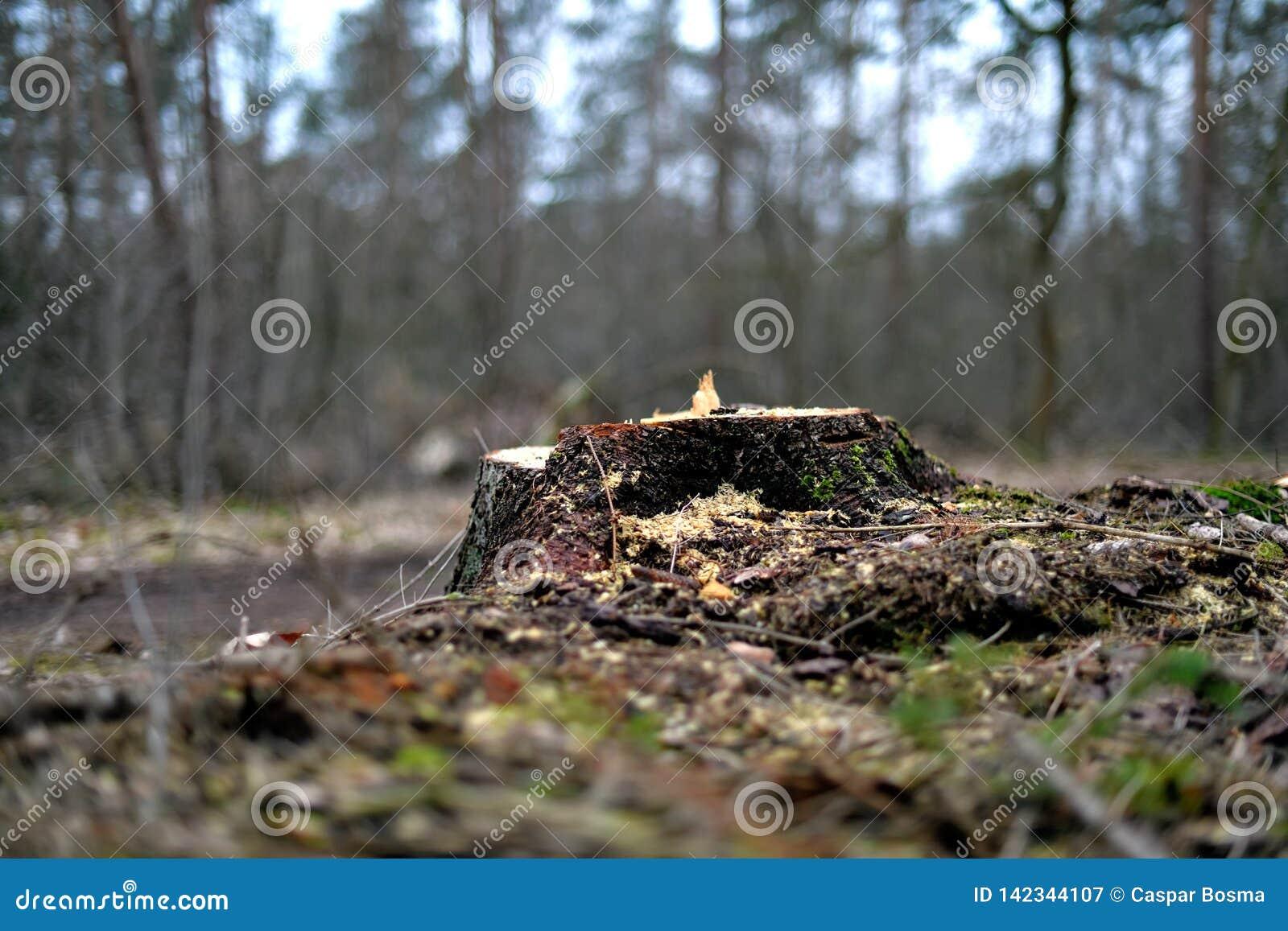 Fiszorek ostatnio ciący drzewo blisko drogi gruntowej na Heriker górze