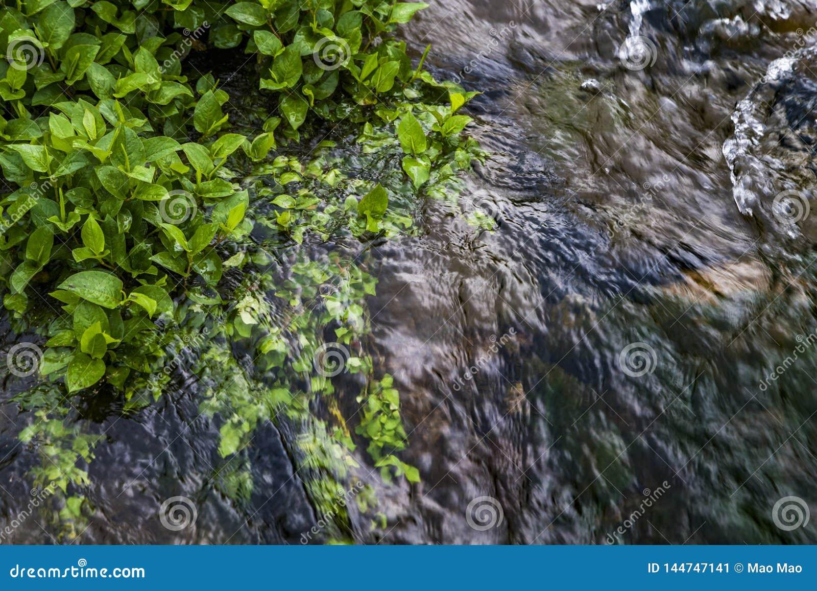 Fiume vicino della pianta acquatica verde, porcellana