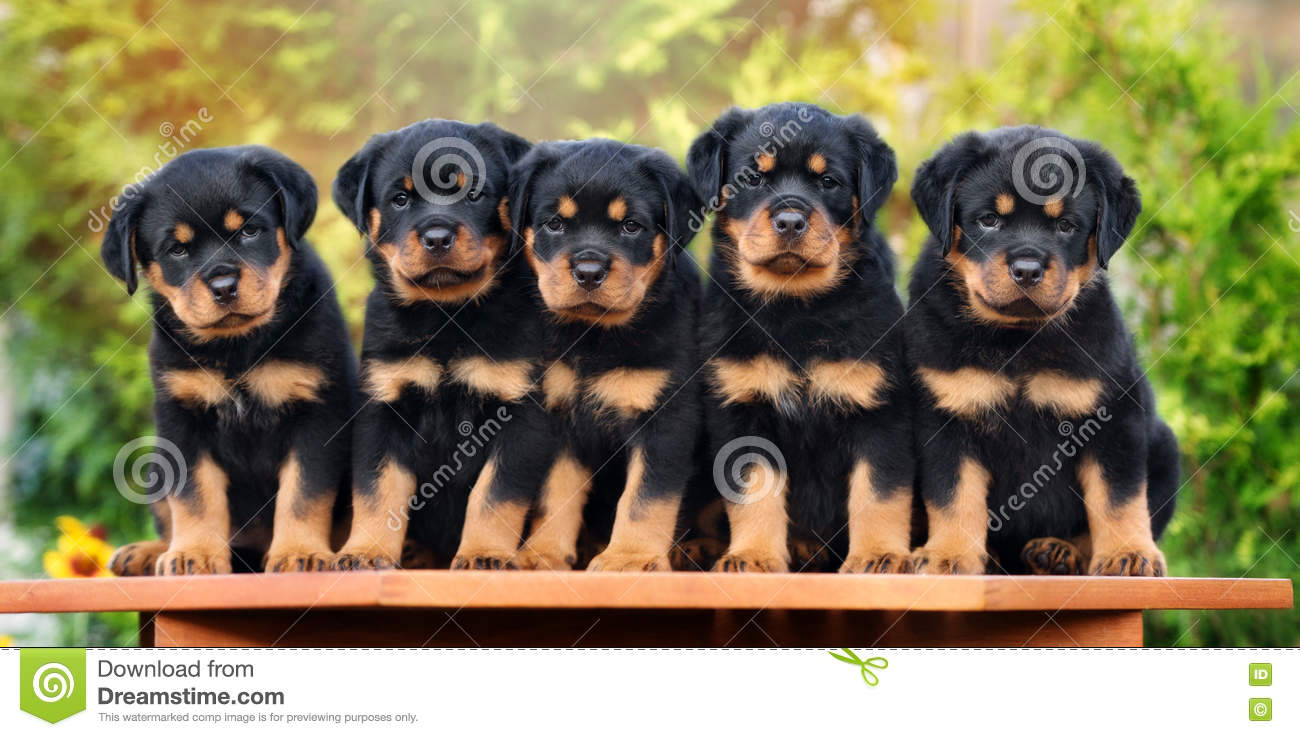 Five Adorable Rottweiler Puppies Stock Photo - Image of rottweiler