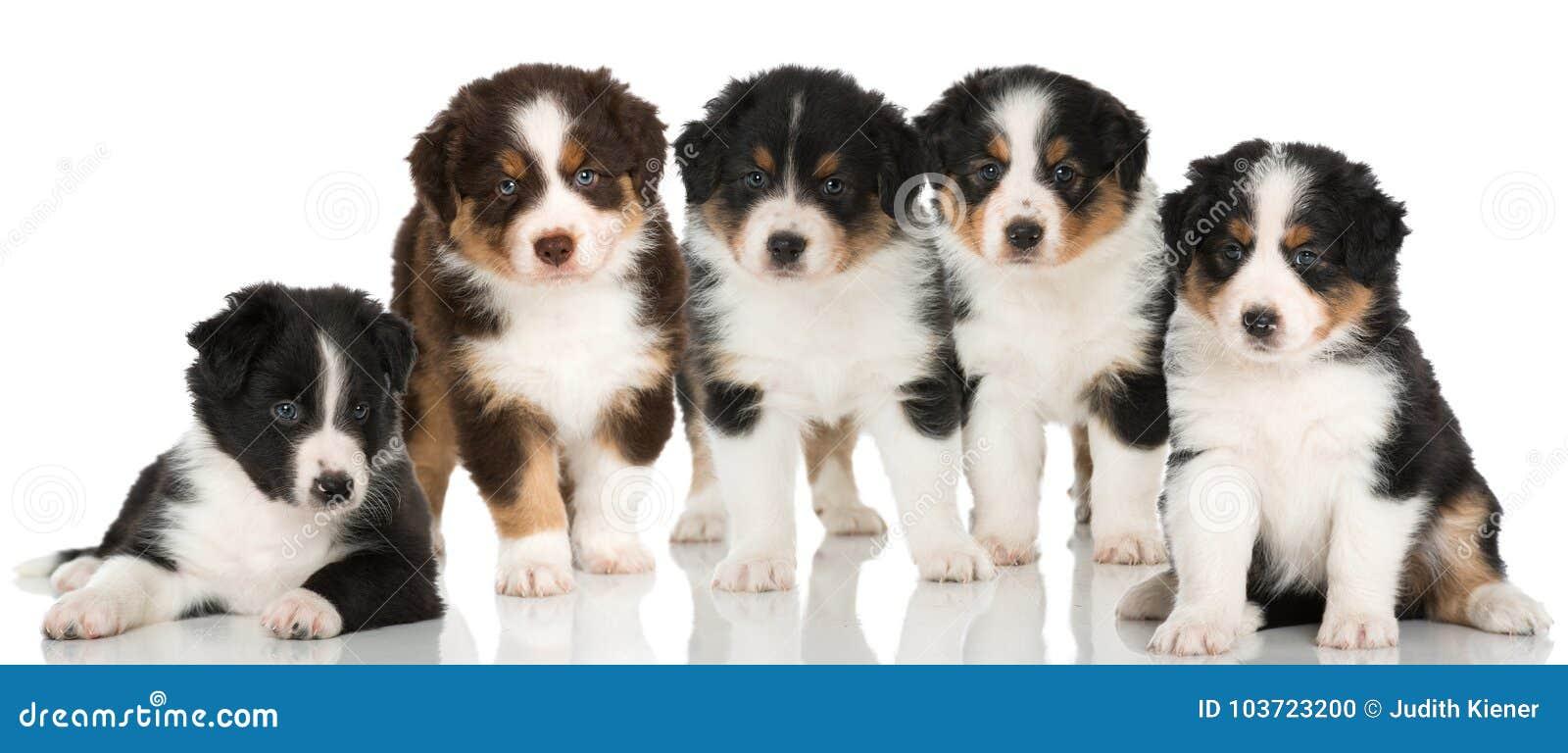 Five australian shepherd puppies