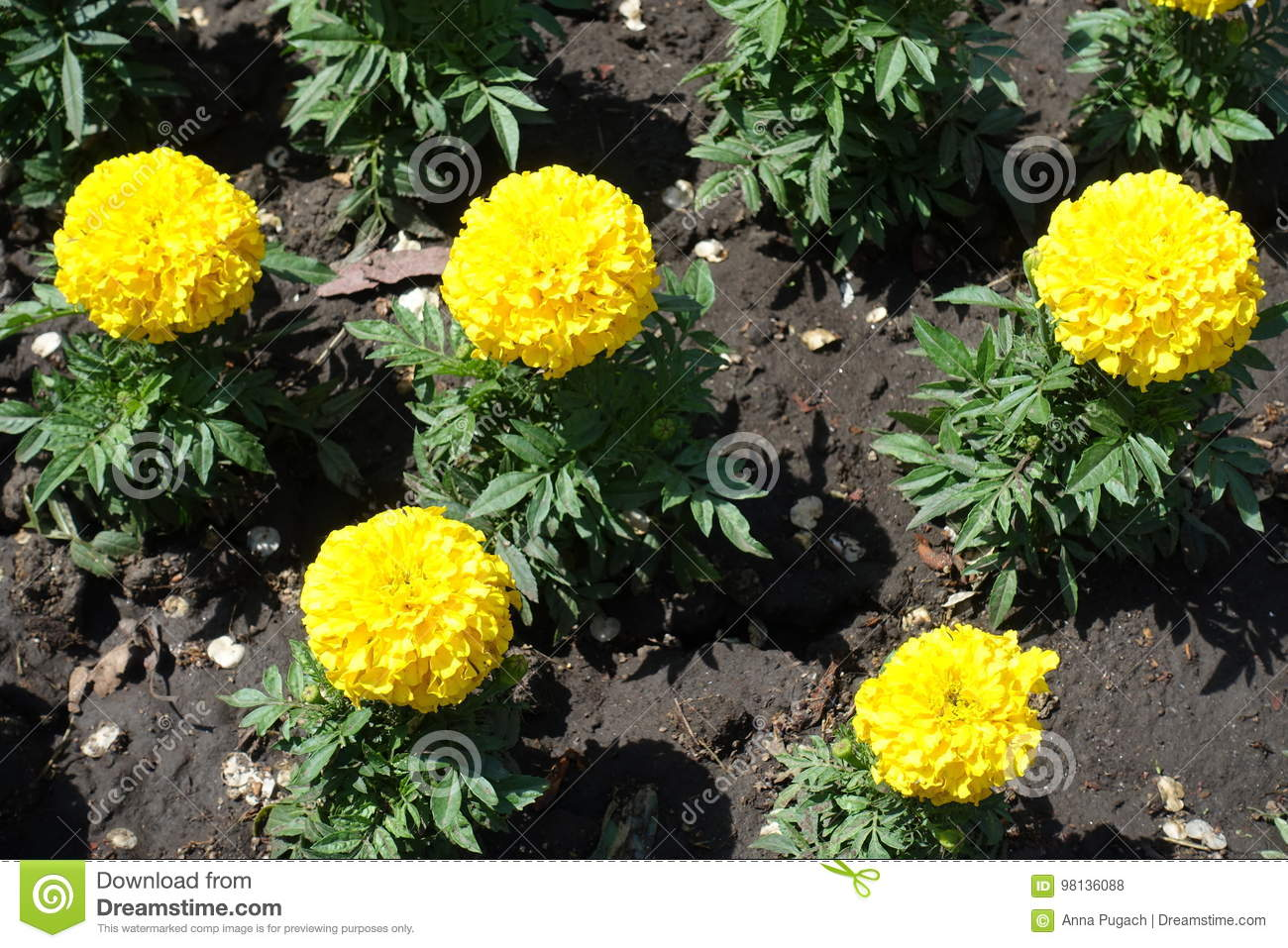 Five Bright Yellow Flowers Of Marigold In May Stock Photo Image Of