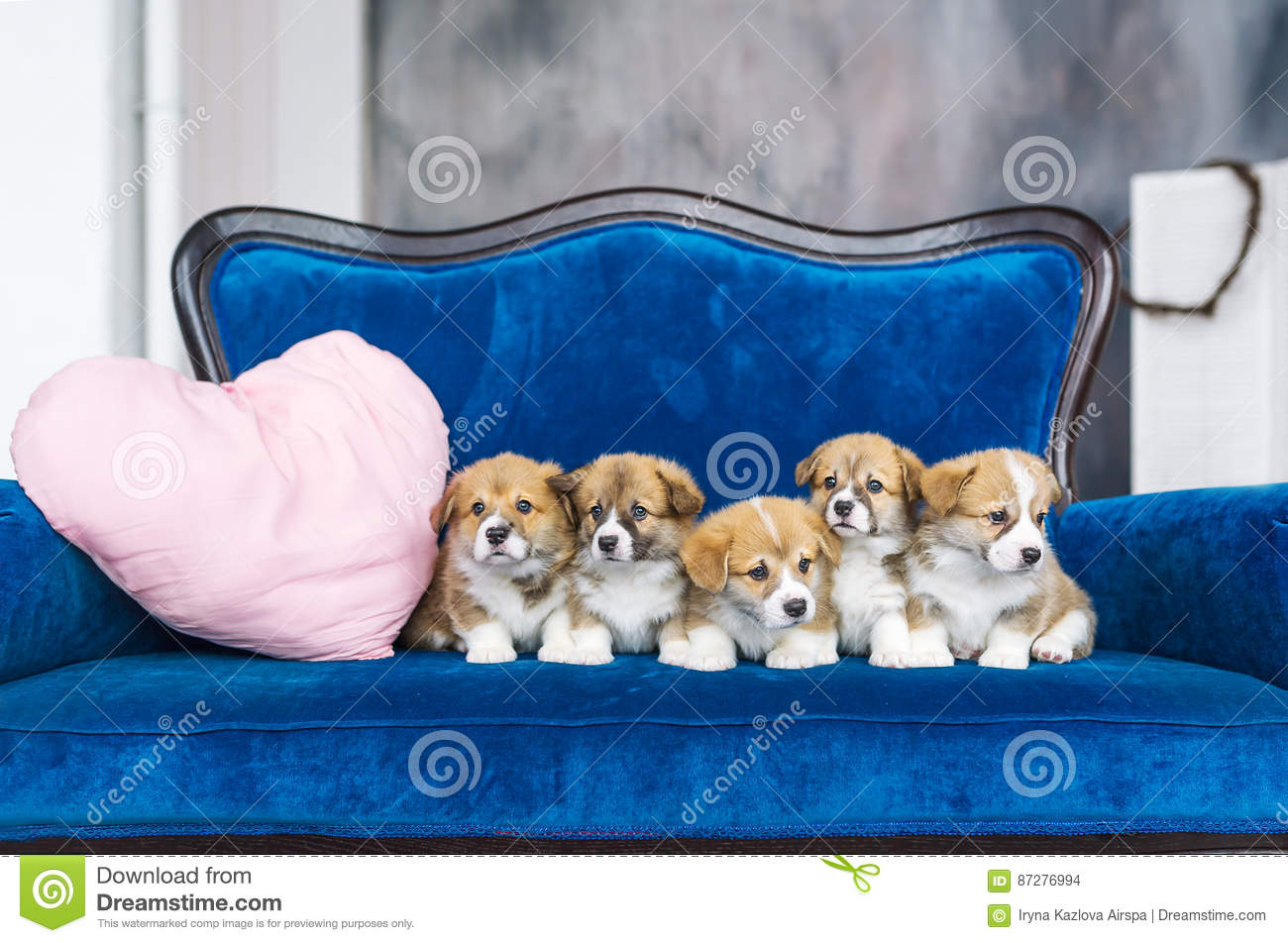 Five charming little puppies on a blue sofa. Holiday of spring. March 8