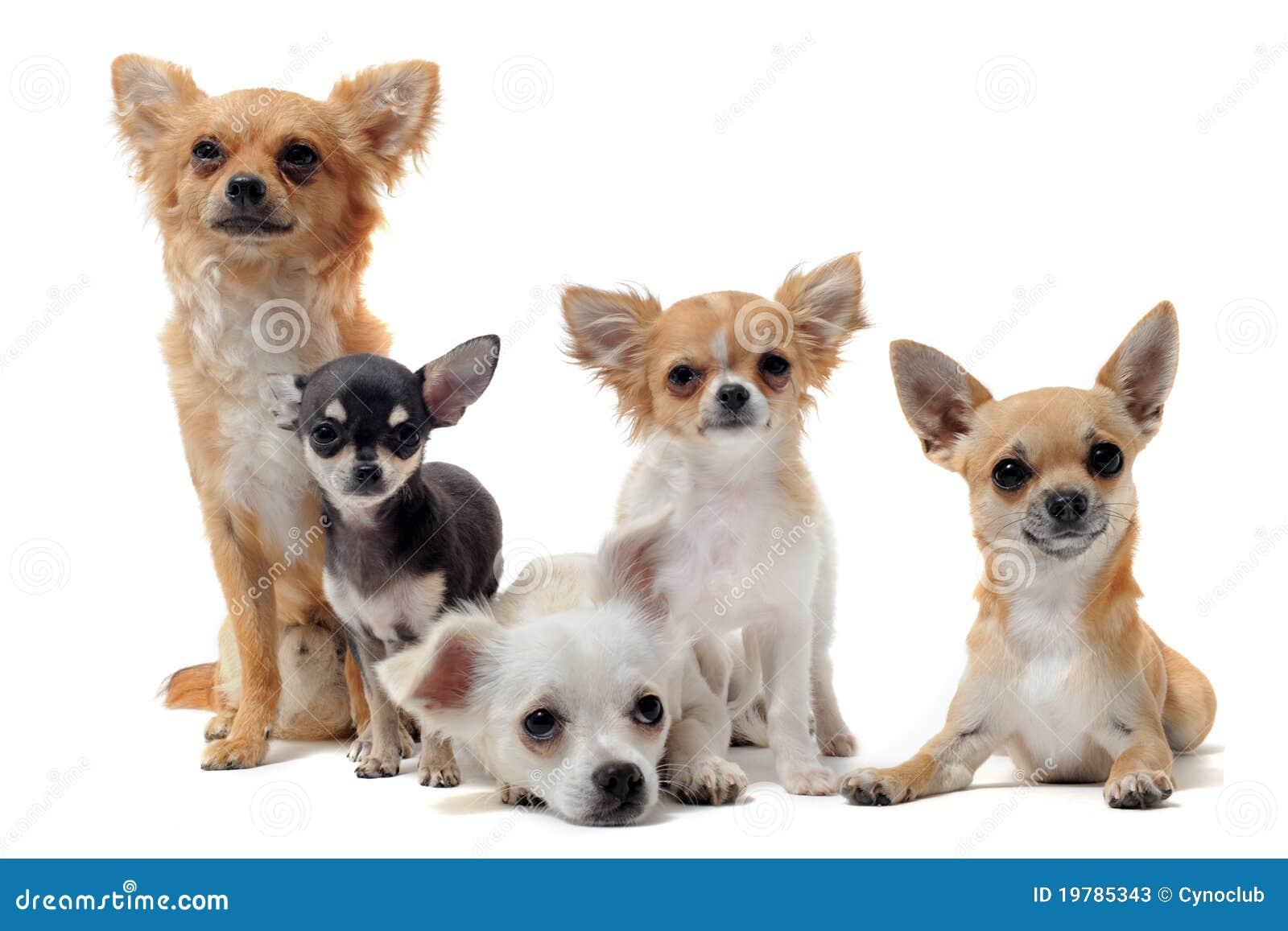 Five Chihuahuas Stock Photos - Image: 19785343
