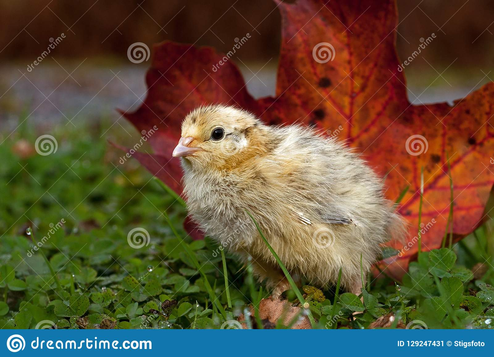 Five days old quail, Coturnix japonica.....photographed in nature