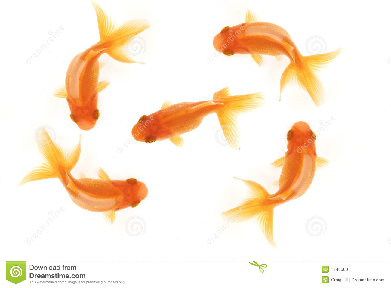 Five goldfish stock photo image 1840500 for Dream of fish swimming