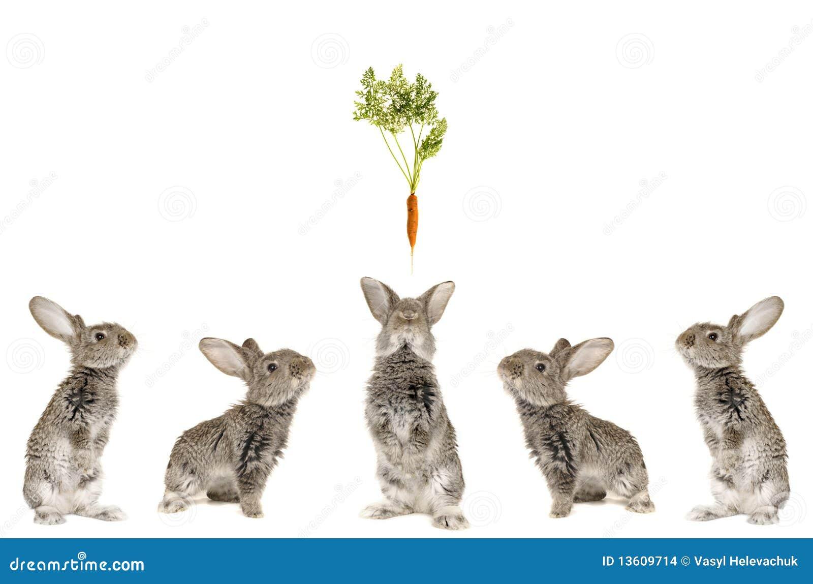 Five grey rabbit