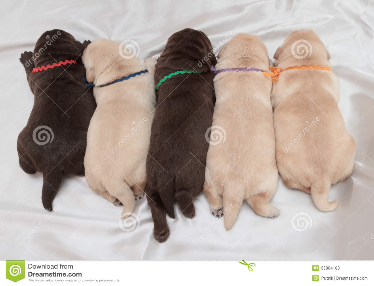 Dachshund Puppies For Sale  Puppy Singapore