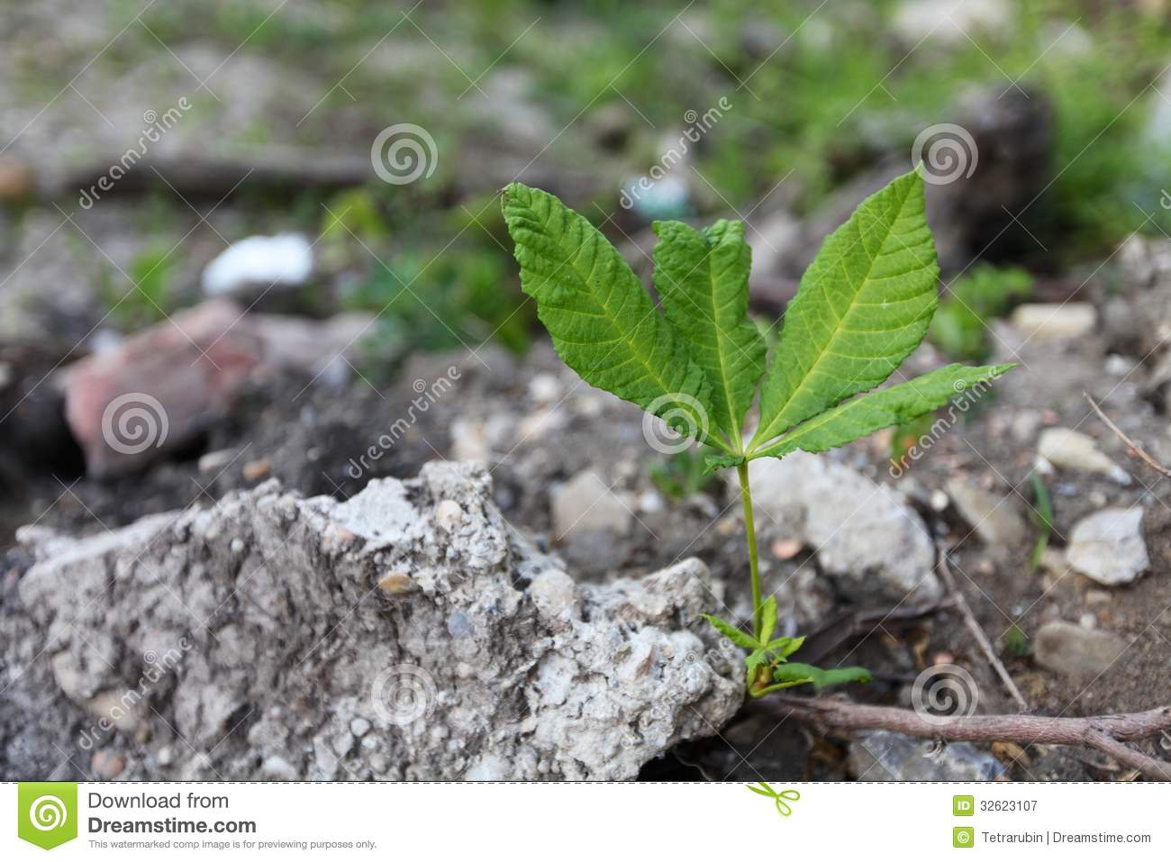 Five-leafs plant