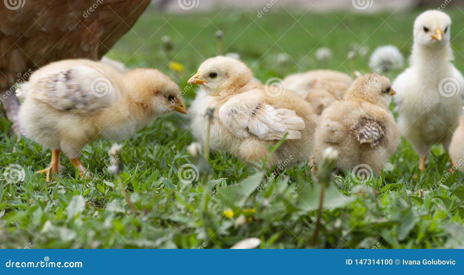 Five little cute chicks in green grass graze