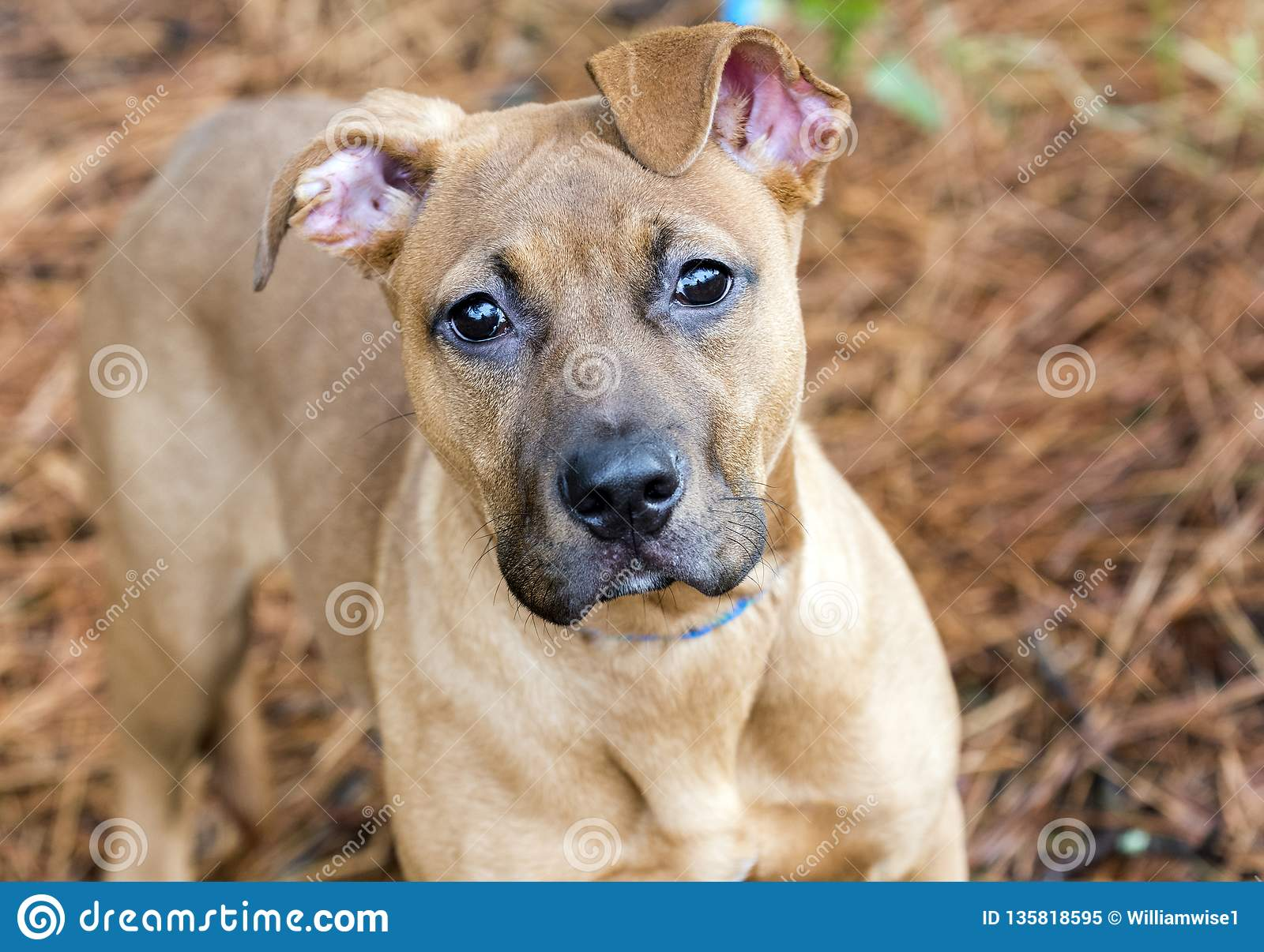 Red Pitbull Puppy Dog Stock Image Image Of Outdoors 135818595