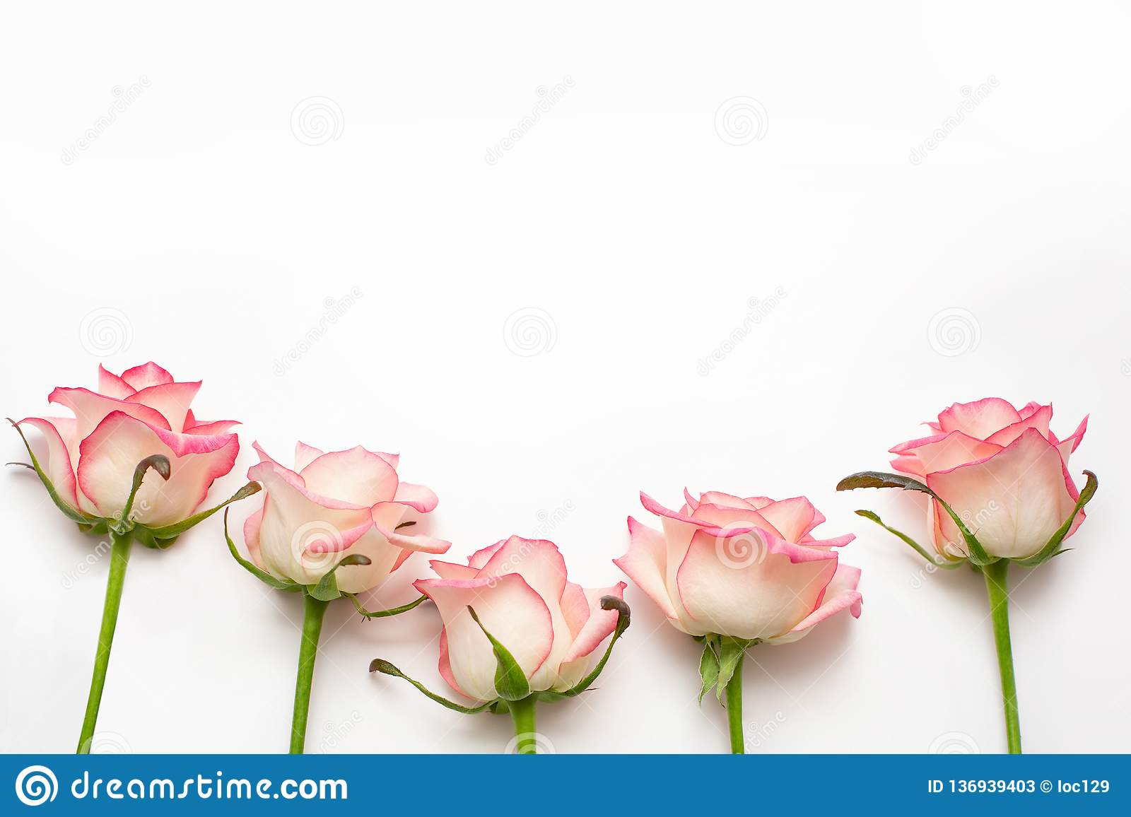 Five pink roses on a white background, beautiful fresh roses