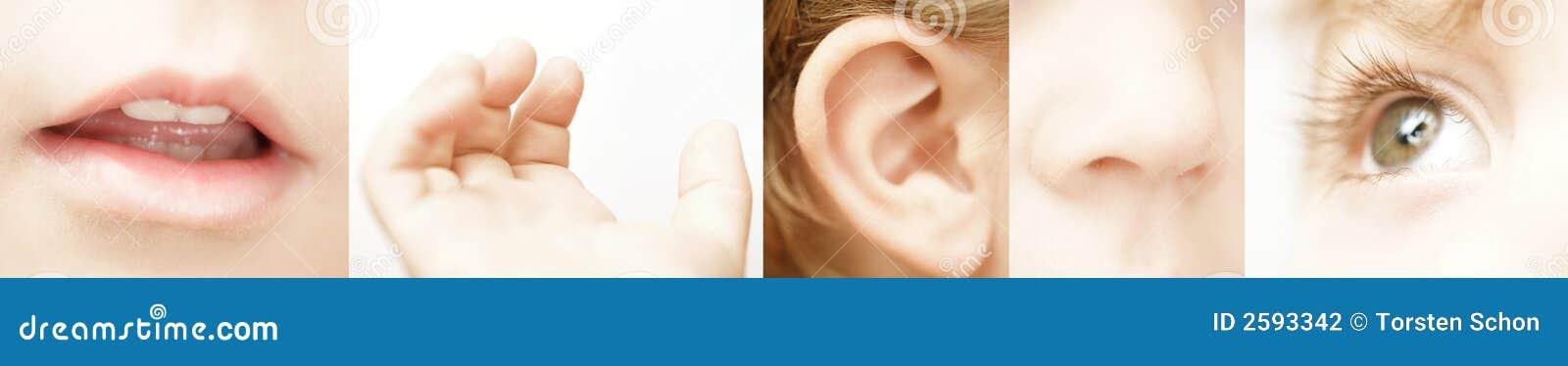 The Five Senses Stock Photo Image Of Hearing Senses