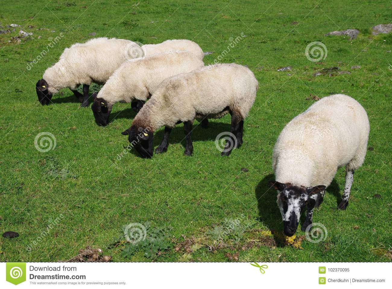 Five Sheep Grazing In The Meadow Stock Image - Image of grass, black ... for Sheep Face Black And White  186ref