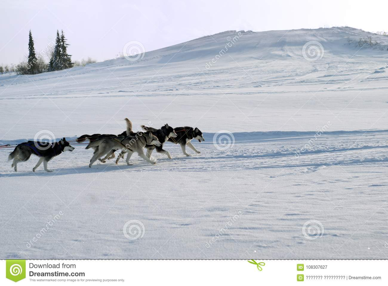 five siberian huskies pull sleds themselves sleds behind the scenes on the  road against the background of a hilly winter landscape