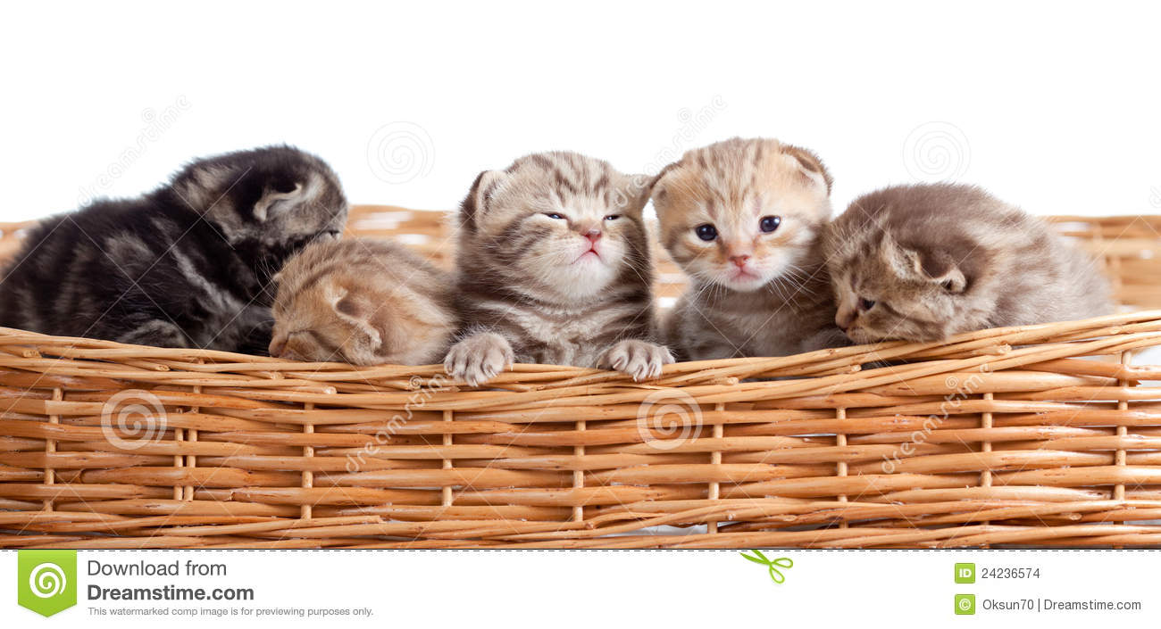 Five Small Scottish Kittens In Basket Stock Images - Image ...