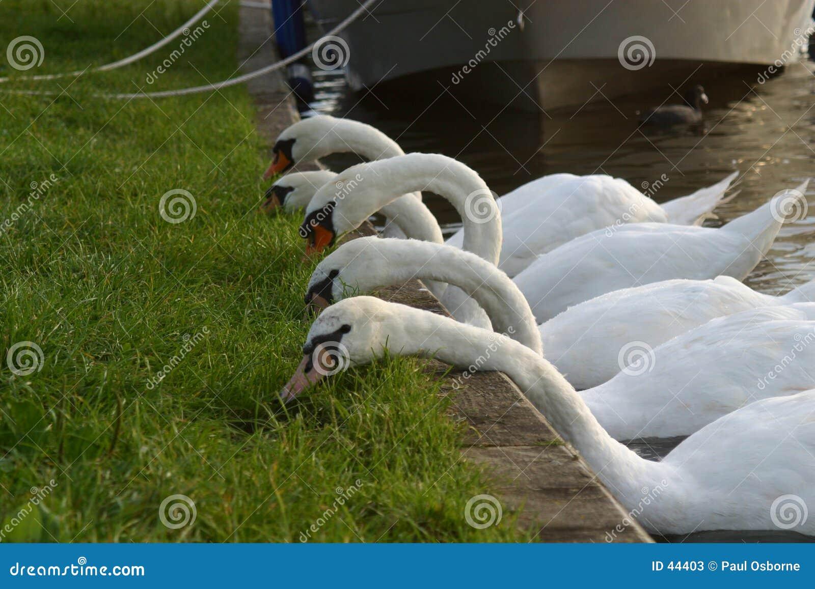 Five swans a feeding