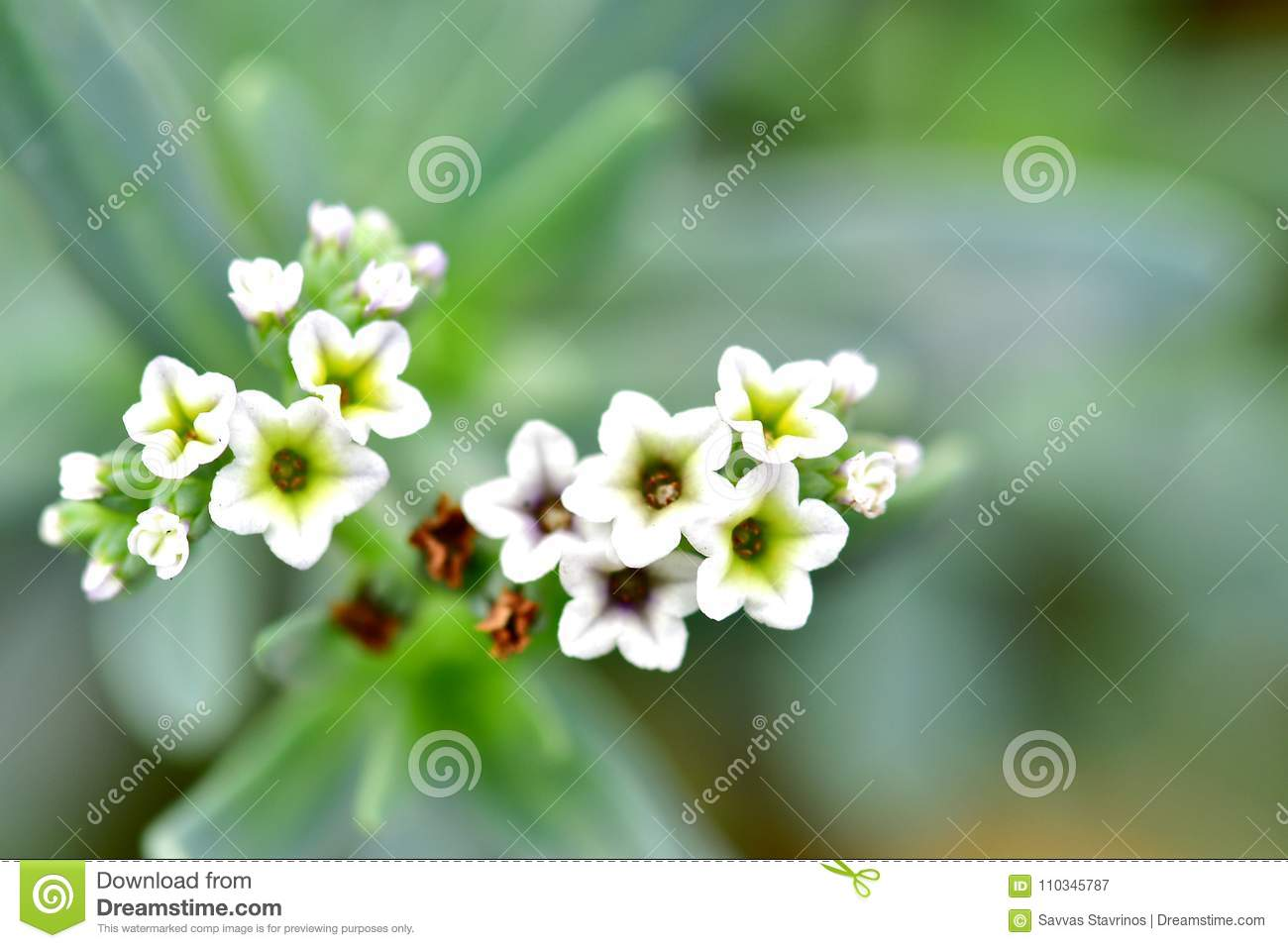 Alyssum Plants In White Color Having 5 Pedals Each One Stock Image