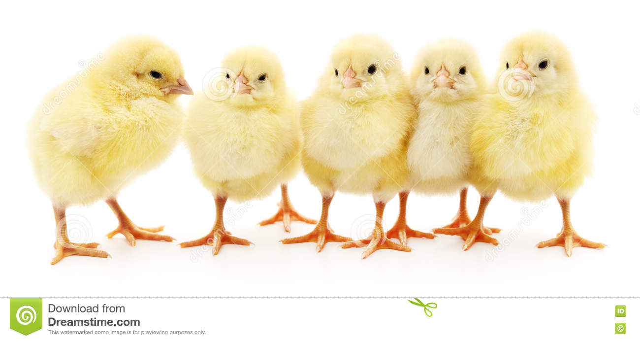 Five yellow chickens.