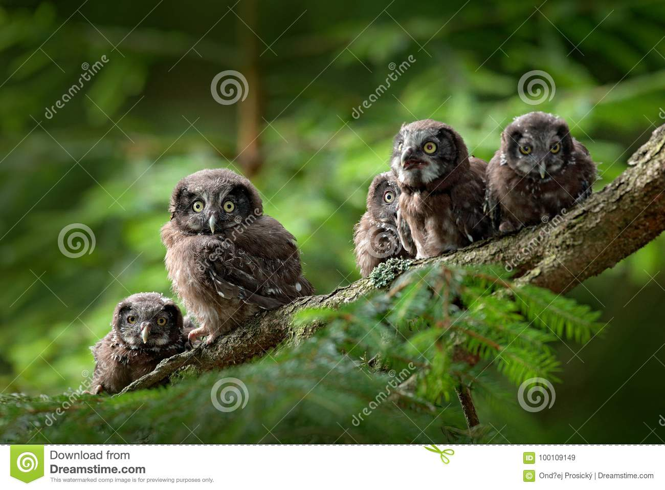 Five young owls. Small bird Boreal owl, Aegolius funereus, sitting on the tree branch in green forest background, young, baby, cub