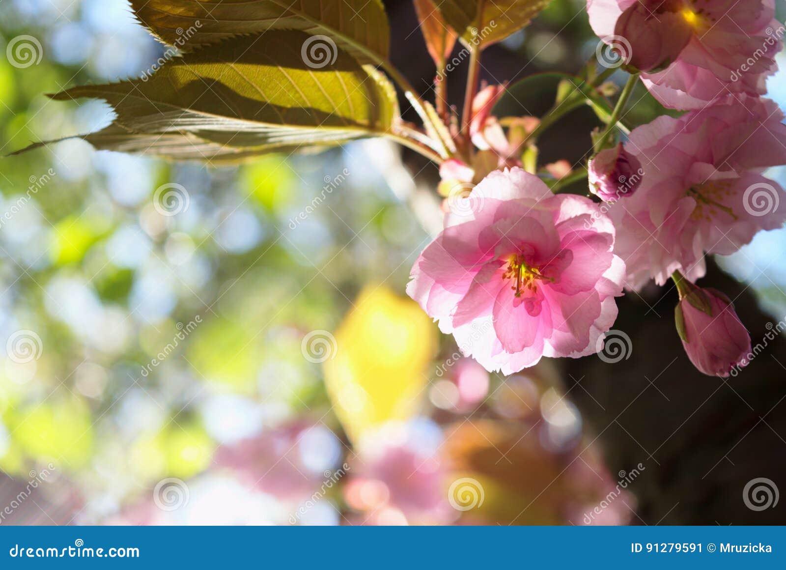 Fjäder för blomma för dof för azaleablomningclose grund upp