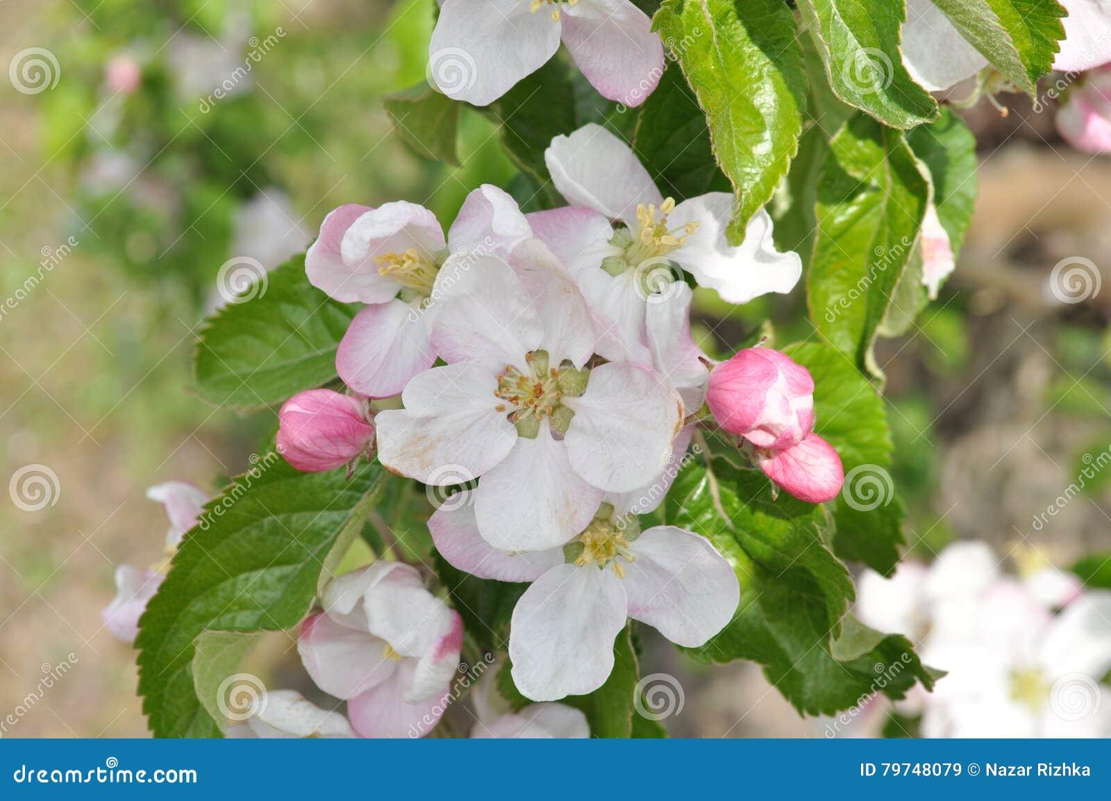 Fjäder för foto för äppleblomningträdgård