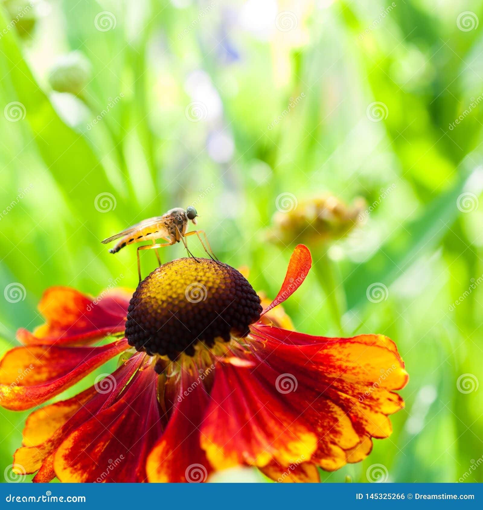 Fjädermygga på den orange blomman