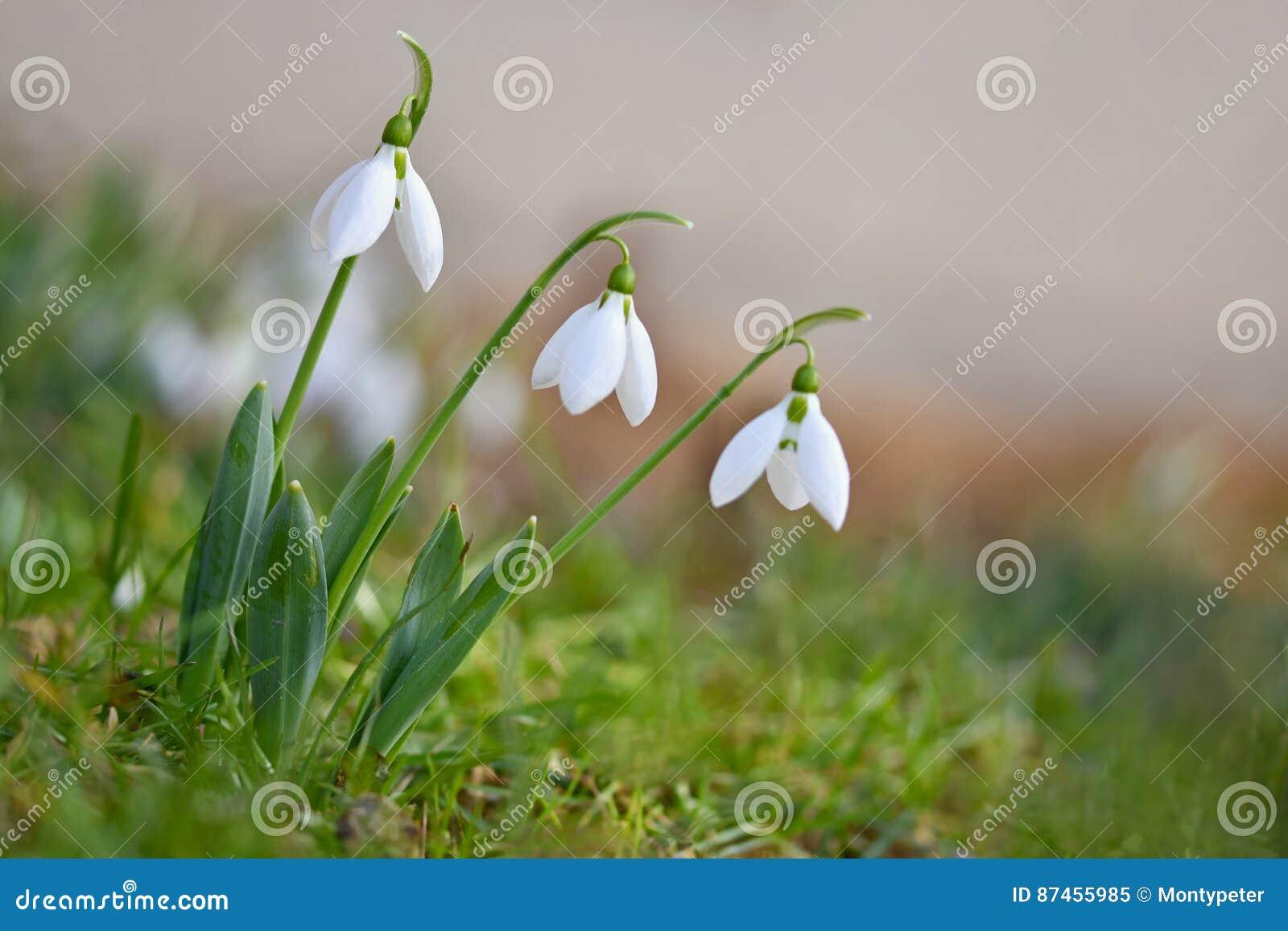 Fjädra blommor - Snowdrops Beautifully blomma i gräset på solnedgången Amaryllidaceae - Galanthus nivalis