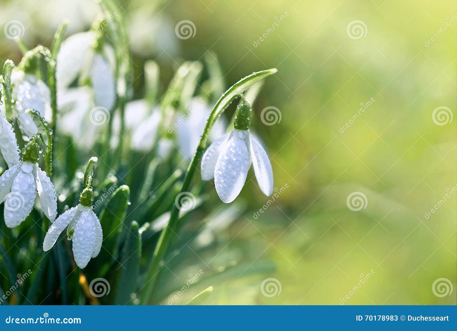 Fjädra snowdrops