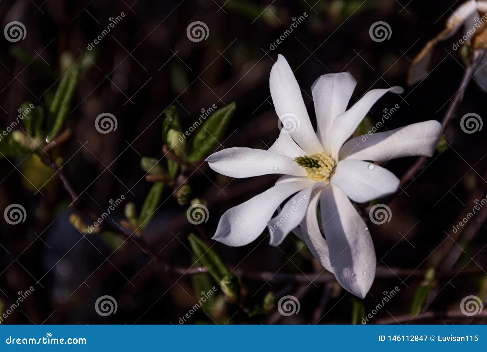 Fjädrar vita rosa blommor för Closeupmagnolian bakgrund