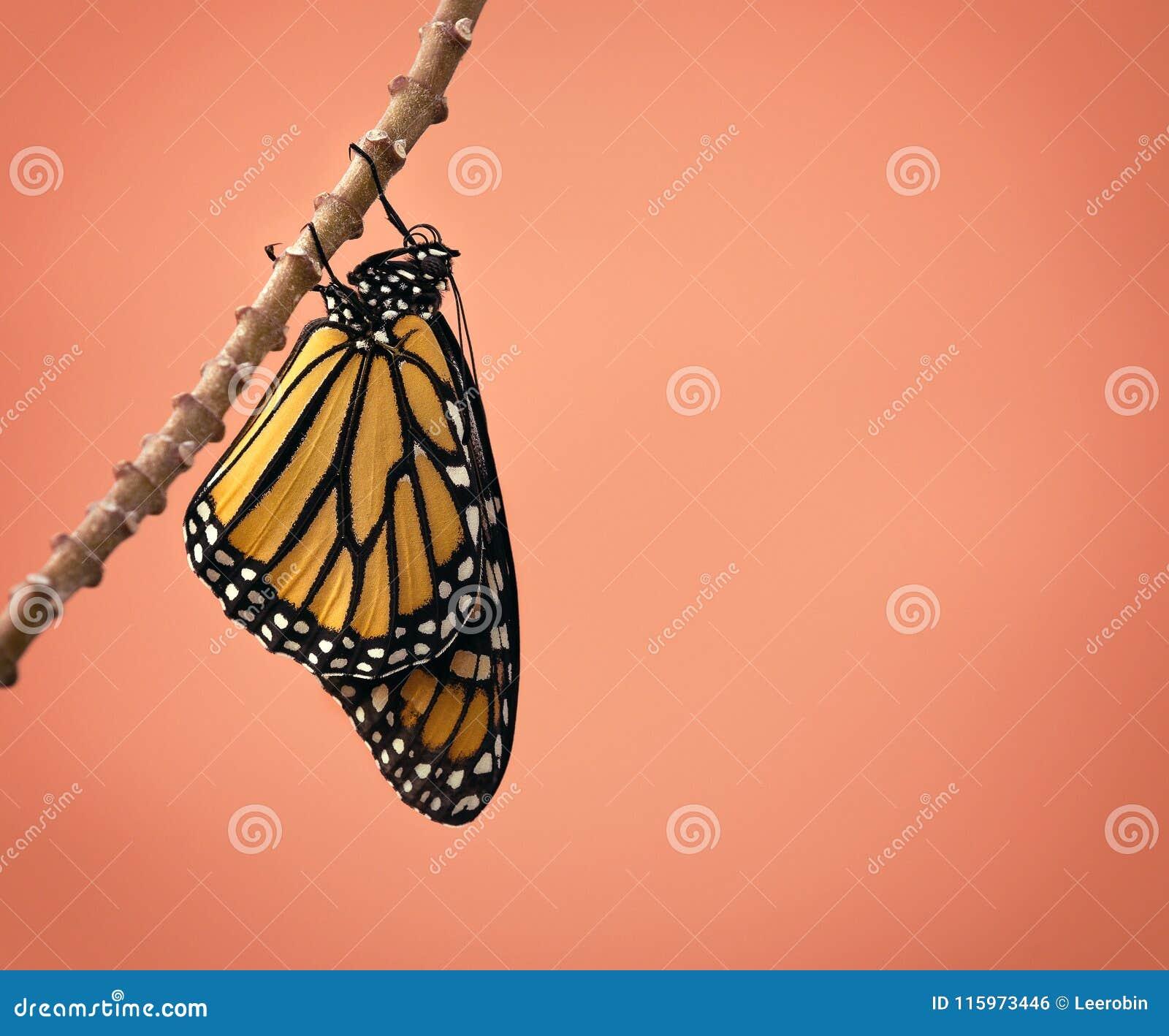 Fjäril dykt upp monark nytt