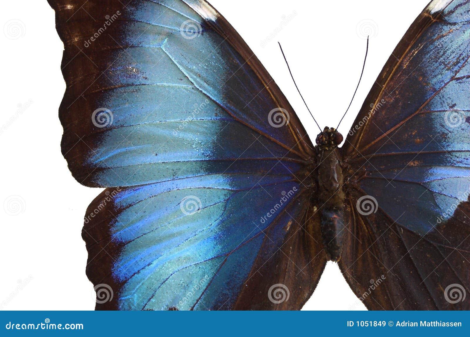 Fjäril för 2 blue