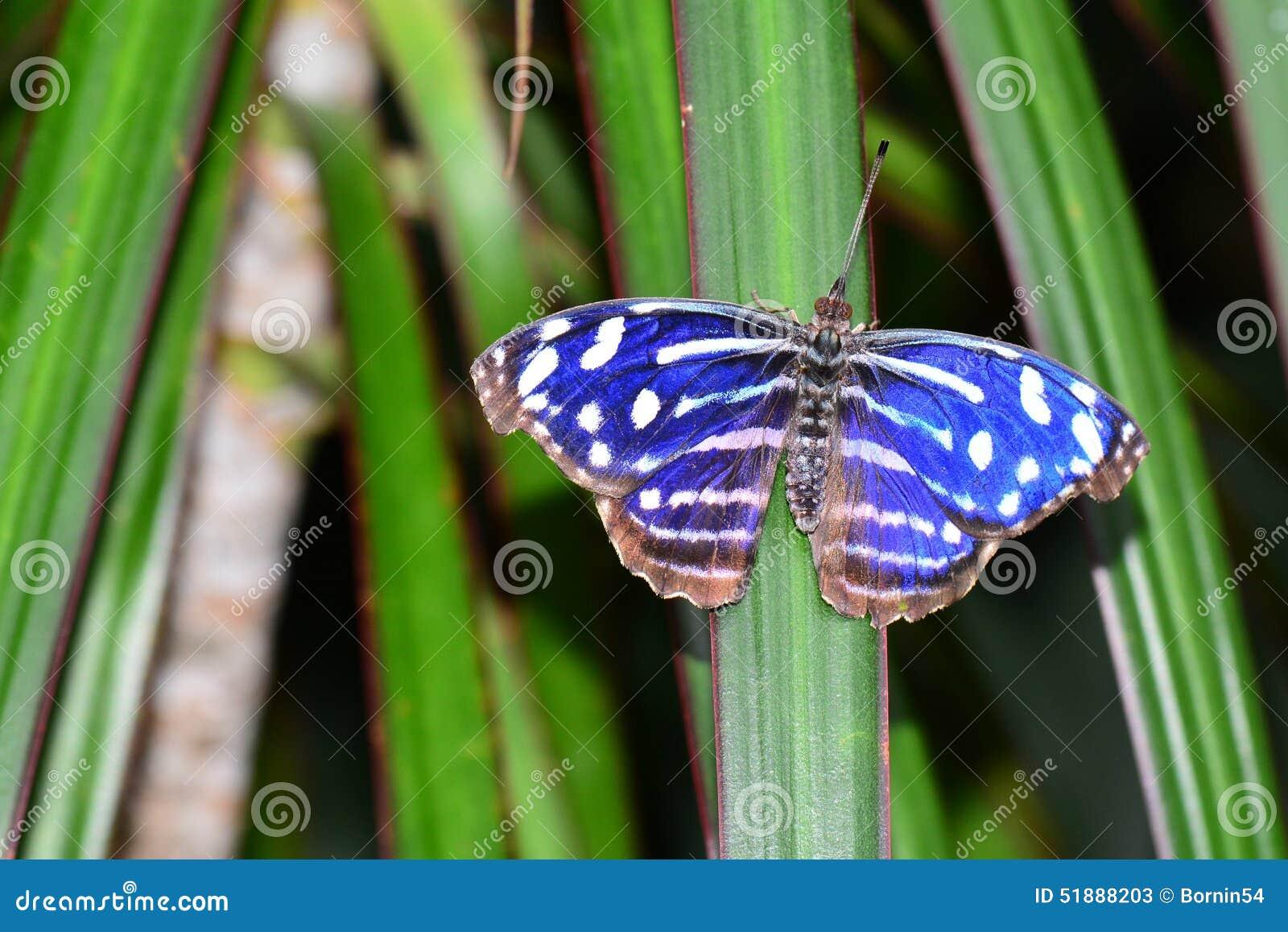 Fjäril för kungliga blått
