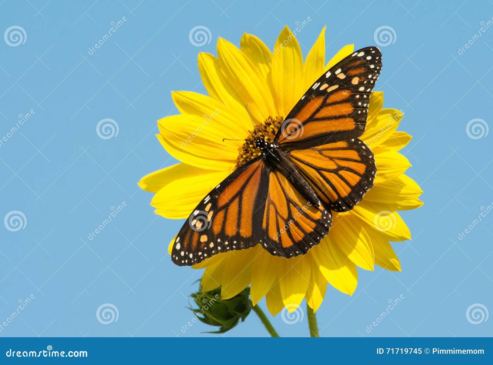 Fjäril för kvinnlig monark som matar på en ljus gul lös solros