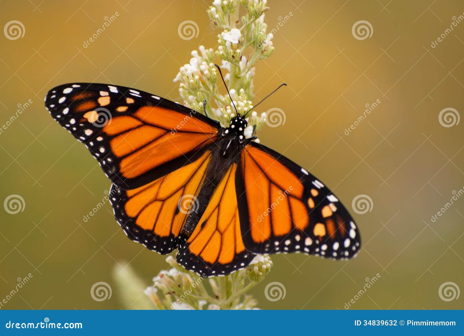 Fjäril för manlig monark i sommarträdgård