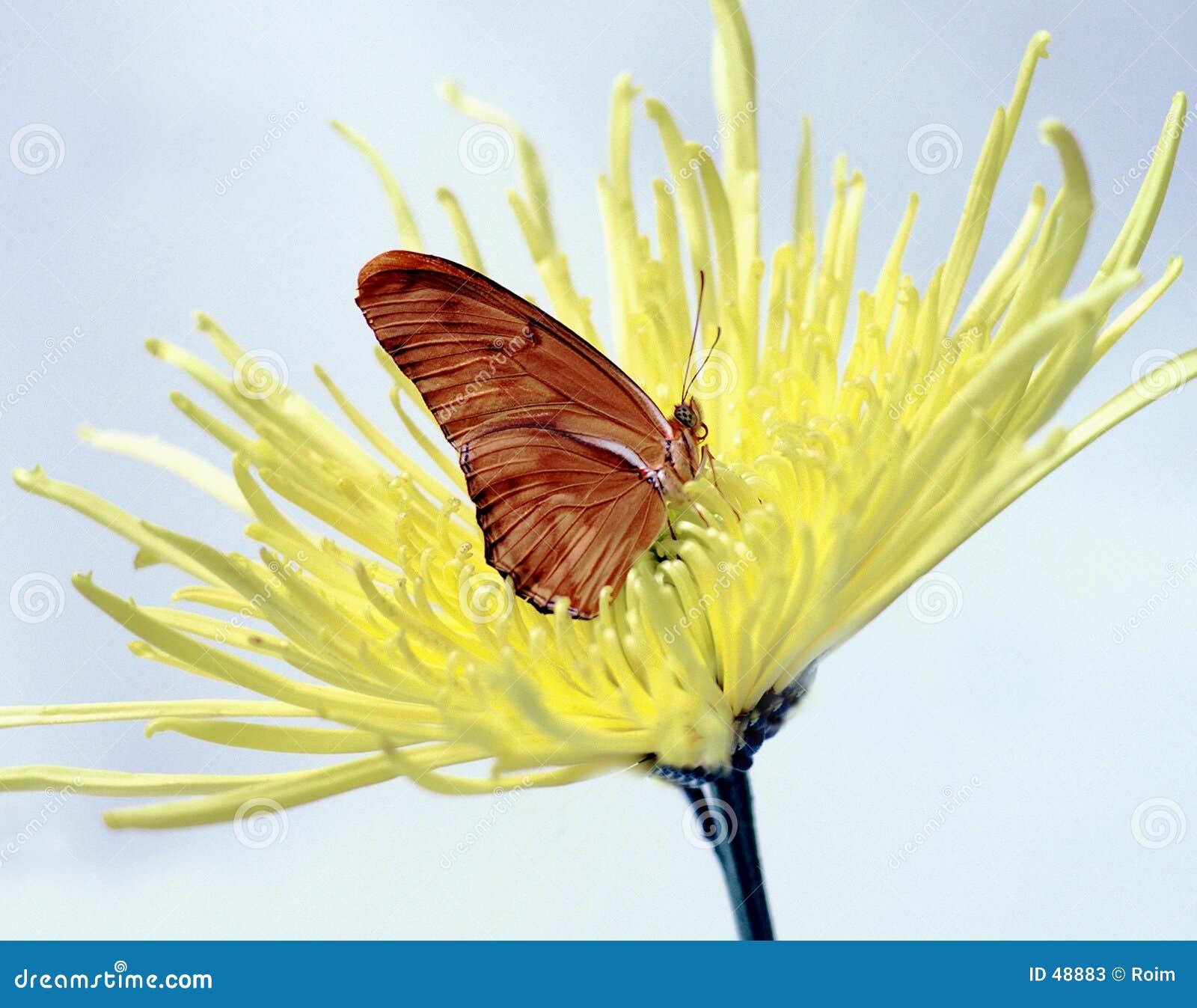 Fjäril julia