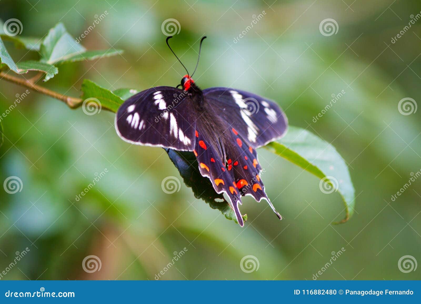 Fjäril karmosinröd ros - Pachliopta tyranniserar i kandalamaen Sri Lanka