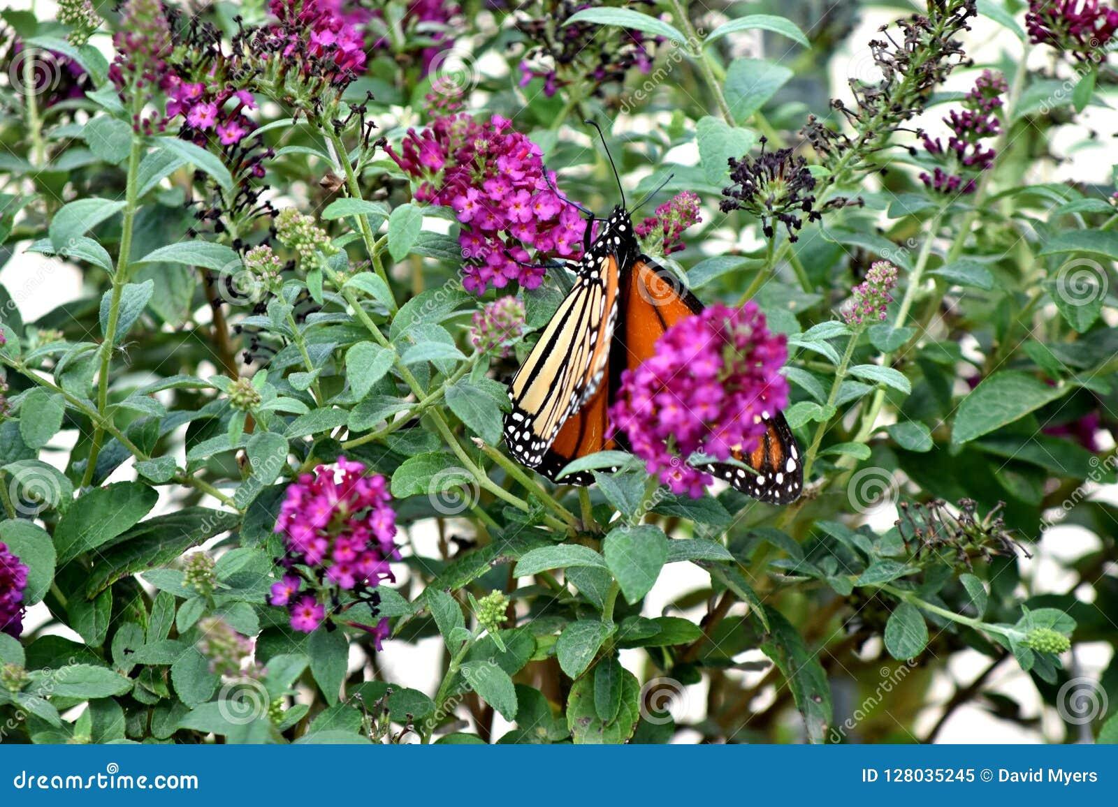 Fjäril monark som söder vandrar till oklahoma city