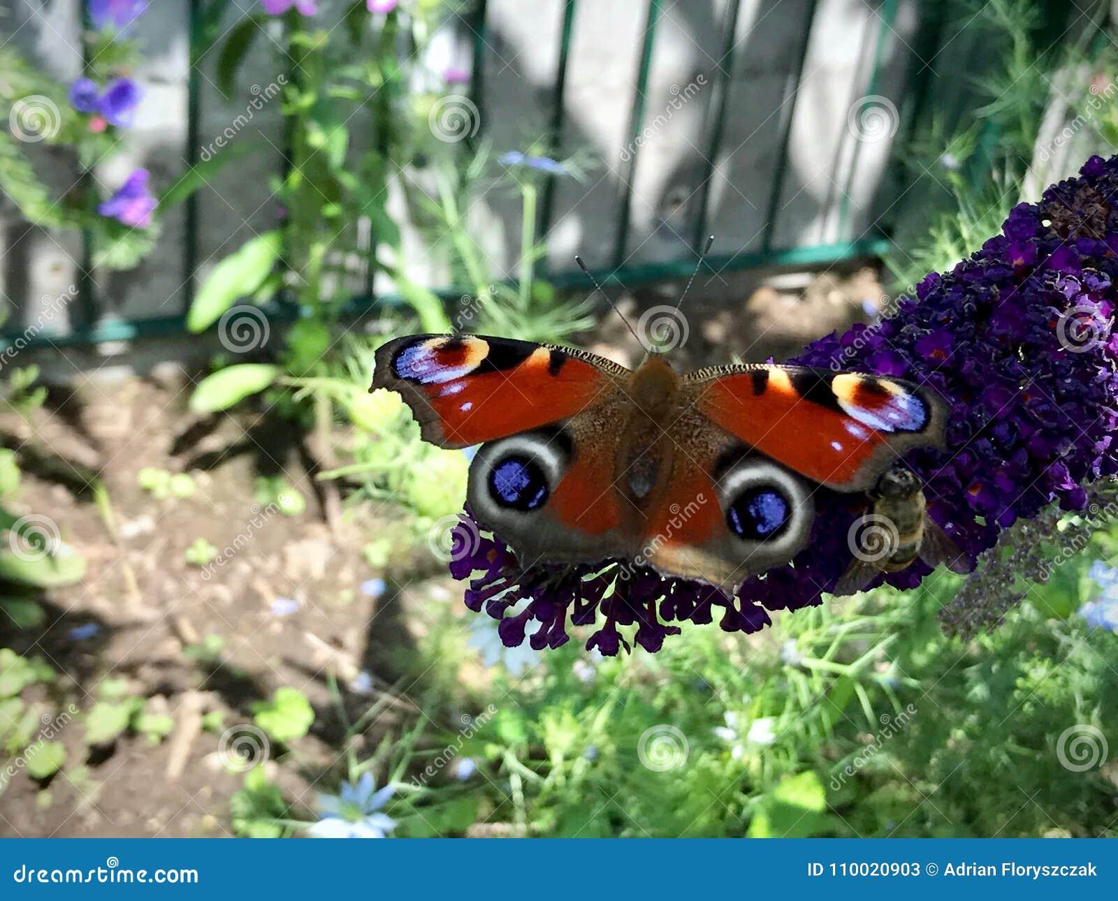 Fjäril och ett bisammanträde på en purpurfärgad blomma
