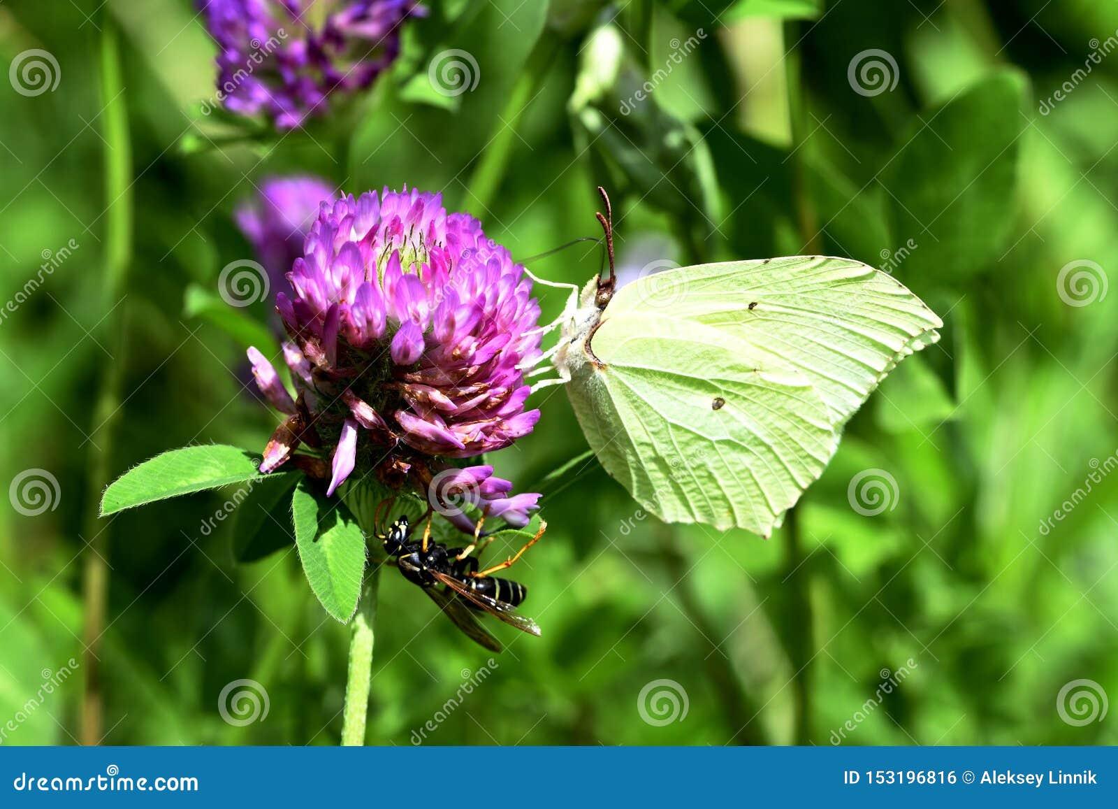 Fjäril och geting på växt av släktet Trifolium
